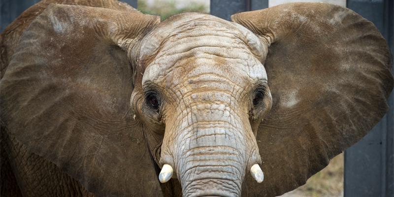 Elephant at the Kansas City Zoo