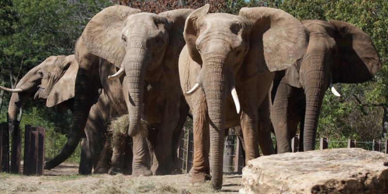 Elephants at the Kansas City Zoo