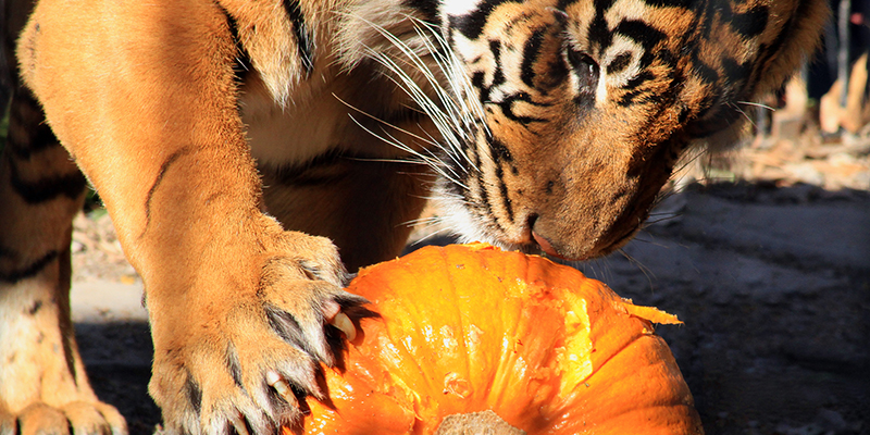 Kansas City Zoo | Great Pumpkin Smash