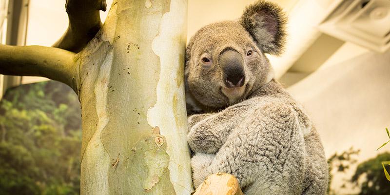 Koala at the Kansas City Zoo